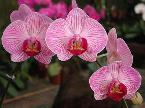 orchidea-gyani